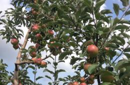 $15 for Two Pecks of Pick-Your-Own Apples at Mackintosh Fruit Farm ($30 Value - 50% Off)